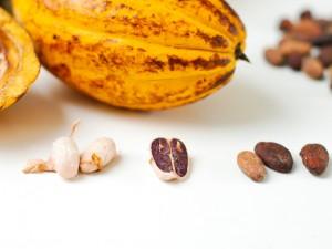 Cacaoboon vers en gedroogd